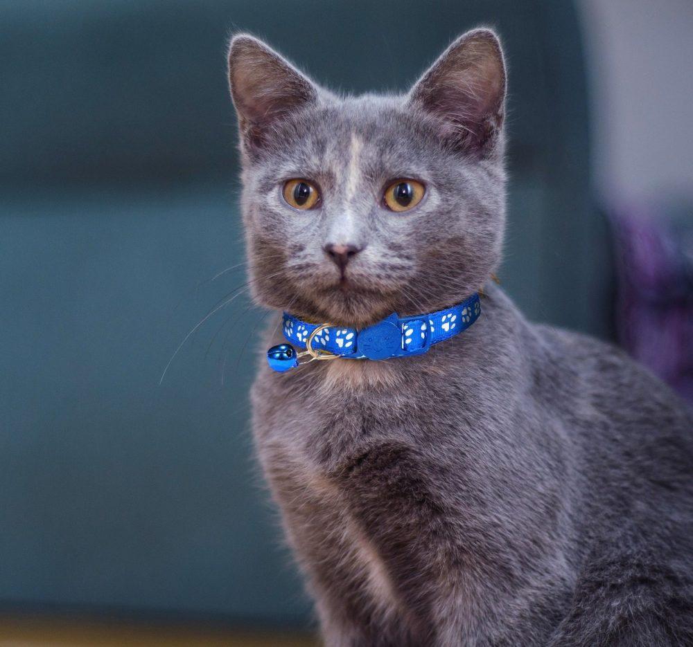 Cat-Collar-Blue